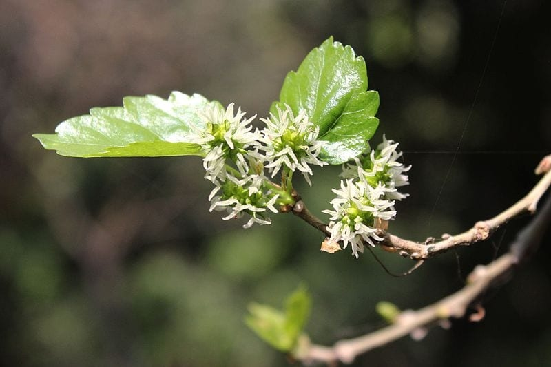 image result for mulberry plant